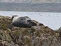 A Seal on the Bush, Farne Islands - geograph.org.uk - 1059923.jpg