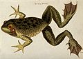 A bull frog. Coloured etching by Heath. Wellcome V0021245.jpg