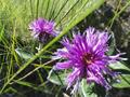 A inflorescencia da Lessingianthus bardanoides (Asteraceae), duas vistas.png
