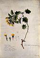 A plant (Hyoscyamus aureus); flowering stem and floral segme Wellcome V0044784.jpg