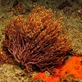 A red seaweed, possibly a Dasya at Ponta do Ouro, Mozambique (36250150780).jpg