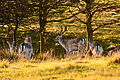 A resting Herd.JPG