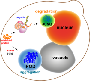 Protein aggregation - Image: A scheme of a yeast cell harboring JUNQ and IPOD inclusions