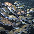 A school of striped grunters (Pomadasys striatus) at Aliwal Shoal, South Africa (36204828020).jpg