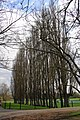 A stand of poplars - geograph.org.uk - 1801195.jpg