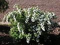 Ab plant 1780.jpg
