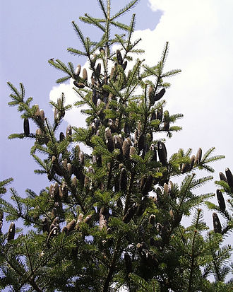 Abies balsamea - Tree with cones