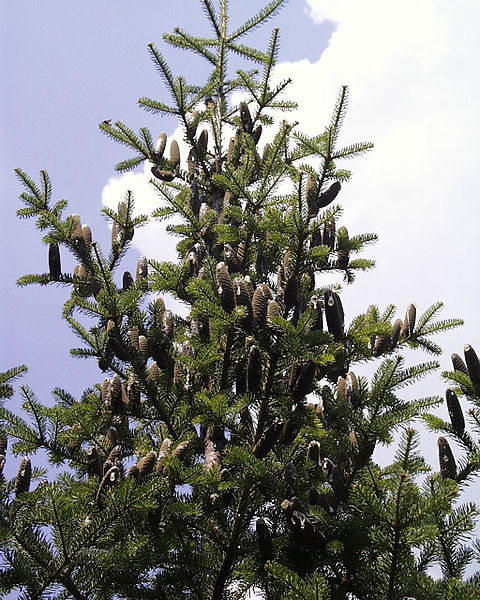 File:Abies balsamea.jpg