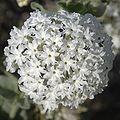Abronia fragrans flowers1.jpg