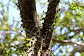 Acacia-cucuyo-(4).jpg