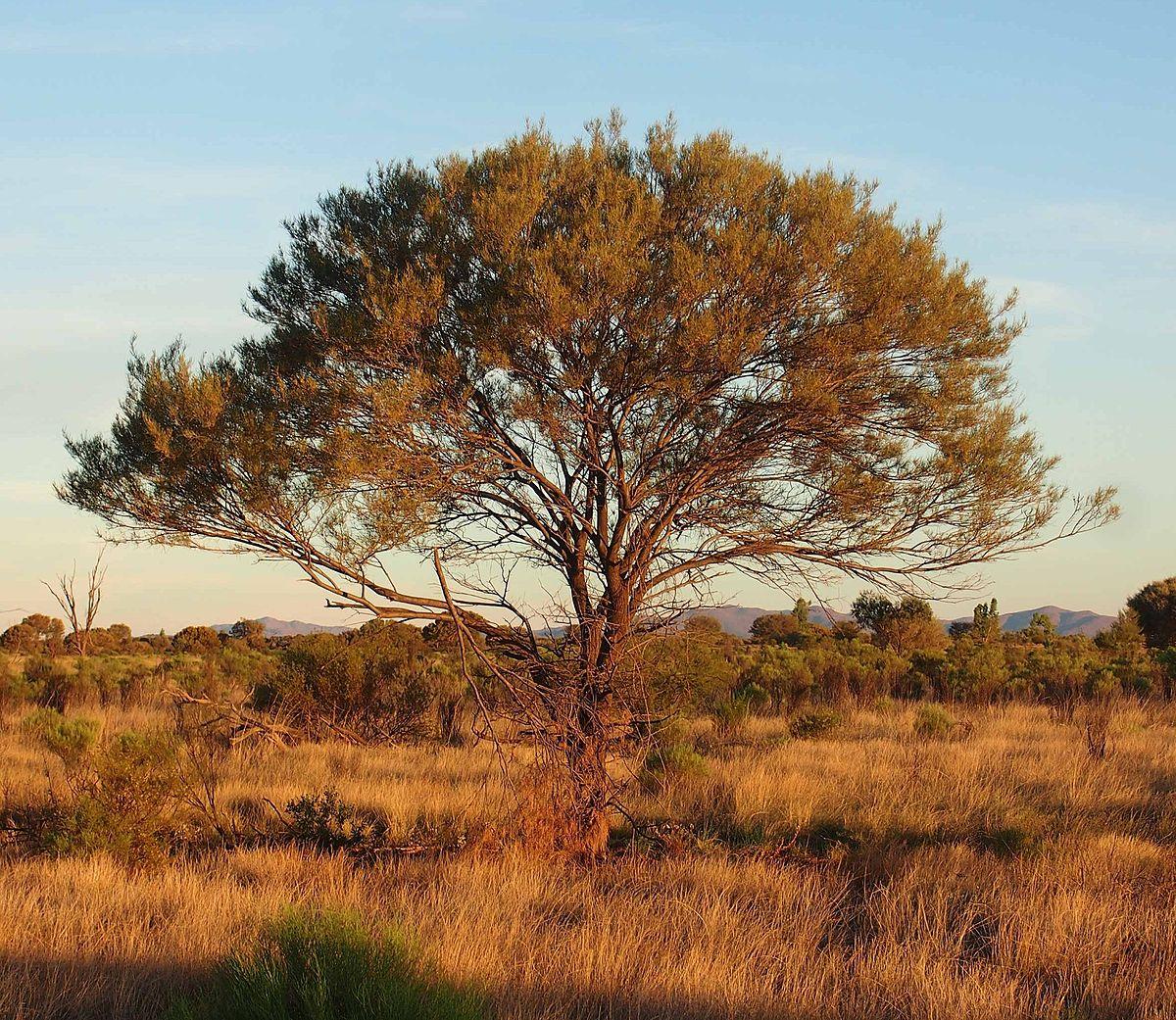 acacia arbre