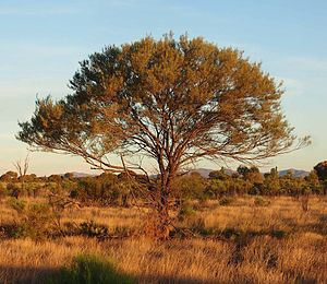 Acacia aneura - Image: Acacia aneura habit