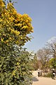 Acacia dealbata in the Jardin des Plantes de Paris 004.JPG