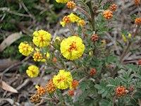 Acacia moirii subsp dasycarpa