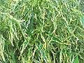 Acalypha godseffiana heterophylla-yercaud-salem-India.JPG