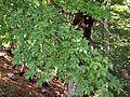 Acer heldreichii ssp visianii Pazua ridge Orjen.jpg