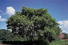 Acer negundo tree.jpg