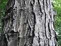 Acer rubrum 15zz.jpg