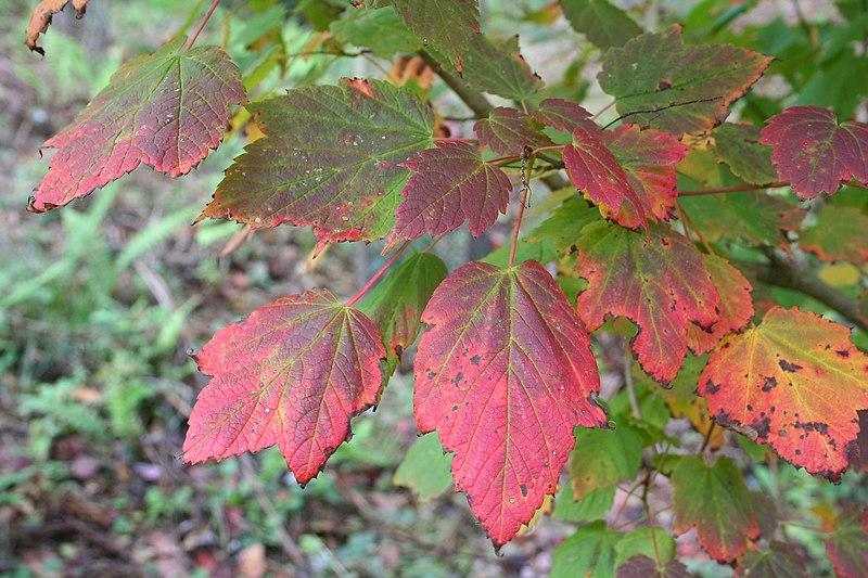 feuillage d'automne de l'erable à epis