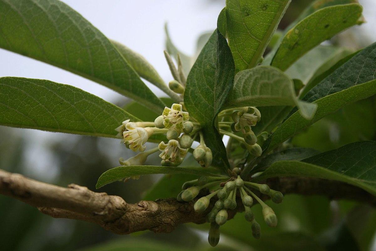 Wikipedia: Acnistus Arborescens