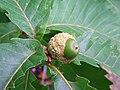 Acorn of Quercus crispula.JPG