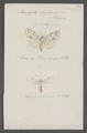 Acronycta - Print - Iconographia Zoologica - Special Collections University of Amsterdam - UBAINV0274 057 01 0009.tif