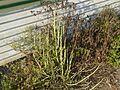 Adjutant's Hedge (2335376678).jpg