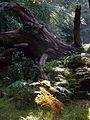 Adlerfarn überwuchert eine Baum-Ruine, Urwaldstieg, Urwald Sababurg.jpg