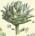 Adolphe Millot artichaut de laon.jpg