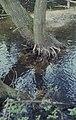 Adventitious roots of large willow, Ludwigia habitat, Frampton (30720519690).jpg