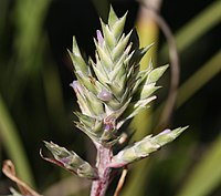 Aechmea pubescens 20100211.jpg