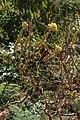 Aeonium spathulatum - Jardín Botánico del Centro de Visitantes - El Paso - La Palma.jpg