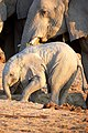 African Elephant Baby Protected 2019-07-23.jpg
