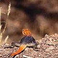Agama agama - eldhuvudagam - Rainbow Agama-5046 - Flickr - Ragnhild & Neil Crawford.jpg