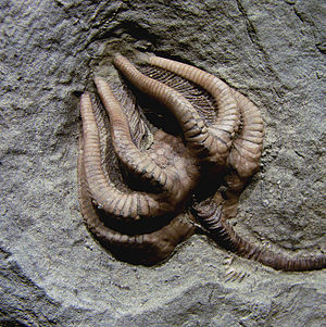 Permian–Triassic extinction event -  Sessile filter feeders like this crinoid were significantly less abundant after the P–Tr extinction.