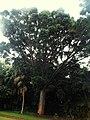 Agathis robusta (Ponta Delgada).JPG