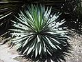 Agave angustifolia Haw. - 2013 001.JPG