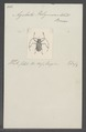 Agelasta - Print - Iconographia Zoologica - Special Collections University of Amsterdam - UBAINV0274 034 07 0007.tif