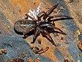 Agelenid Spider (Coelotes terrestris) (13540824473).jpg