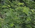Alangium platanifolium var. trilobatum.jpg