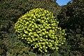 Alcúdia - Cami de Manresa - Euphorbia dendroides 08 ies.jpg
