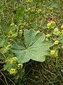 Alchemilla vulgaris RHu02.JPG