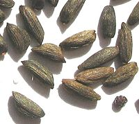 Alliaria-petiolata-seeds-closeup.jpg