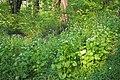 Alliaria petiolata Czosnaczek pospolity 2020-04-24 01.jpg