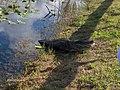 Alligator eating a Burmese Python in Royal Palm^ - panoramio (2).jpg