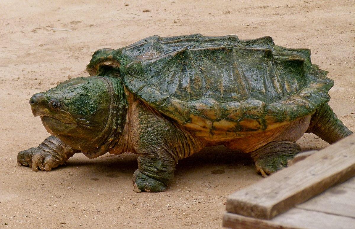 Fauna of louisiana wikipedia - Images tortue ...
