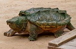 Alligator snapping turtle - Geierschildkröte - Alligatorschildkröte - Macrochelys temminckii 01.jpg