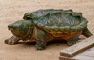 Alligator snapping turtle - Alligator snapping turtle with carpet of algae