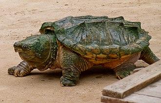 Alligator snapping turtle - Alligator snapping turtle with carpet of algae