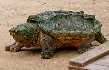 Geierschildkröte - Wikiwand